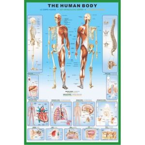 Poster The human body, (61 x 91.5 cm)